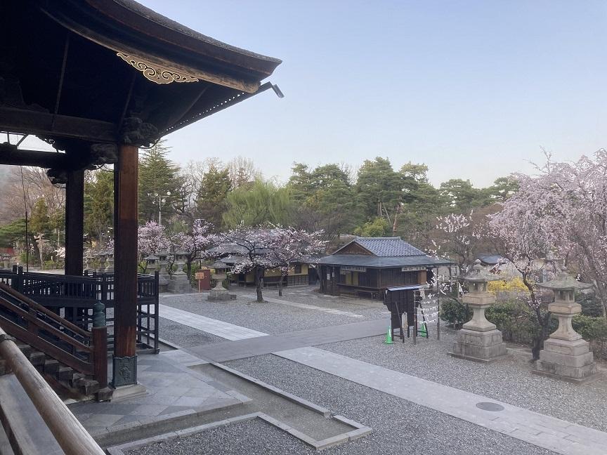 本堂から見た桜